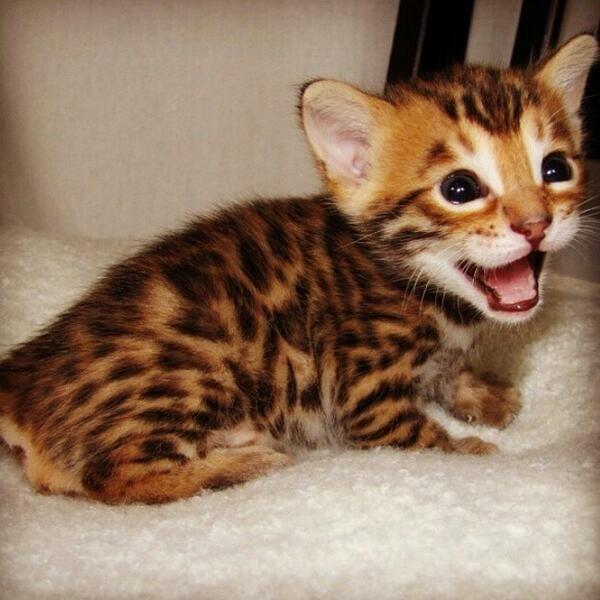 About the Cheetah  Cheetah Conservation Fund  Cheetah